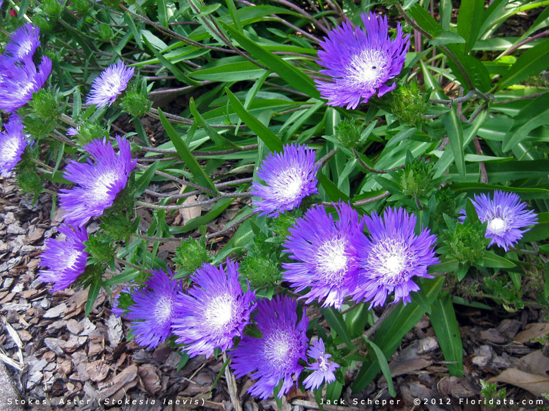 Aster Laevis Leaves