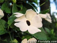 White Black-eyed Susan Vine<