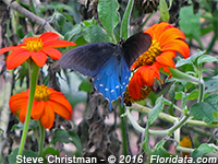 pipvine swallowtail butterfly on a Mexican sunflower