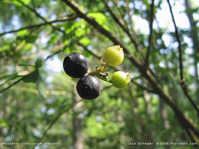 Elliott Blueberry Bush