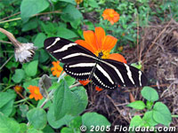 Zebra Longwing butterfly on Mexican sunflower