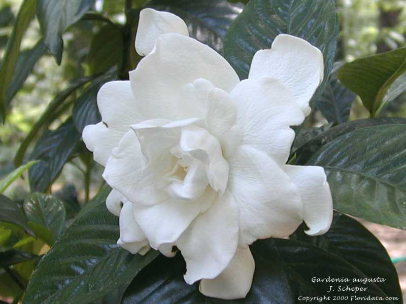 gardenia augusta, Beautiful flower