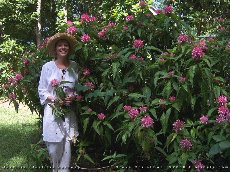 Large Pink Flowering Bush