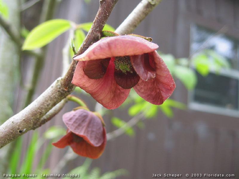 Paw Paw Tree Flower