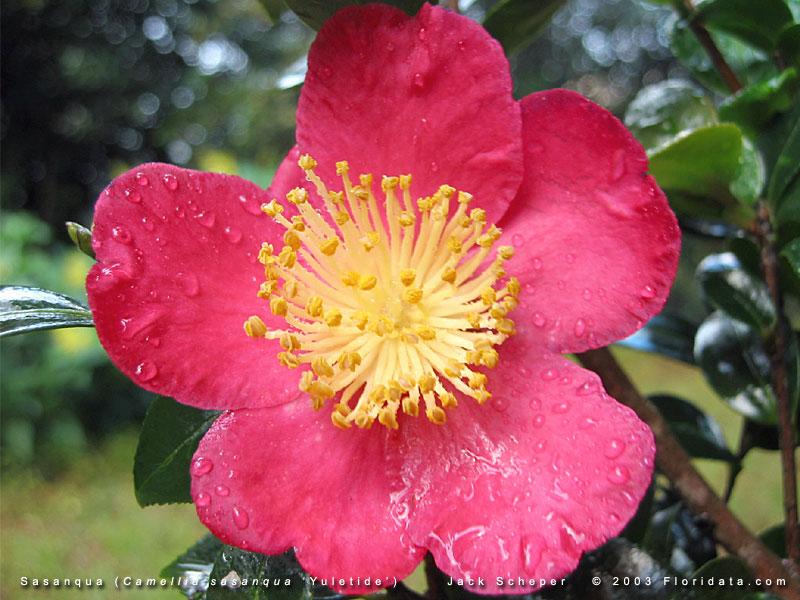 Camellia sasanqua for Camellia sasanqua