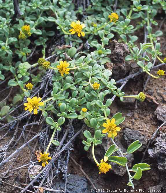 Lipochaeta integrifolia