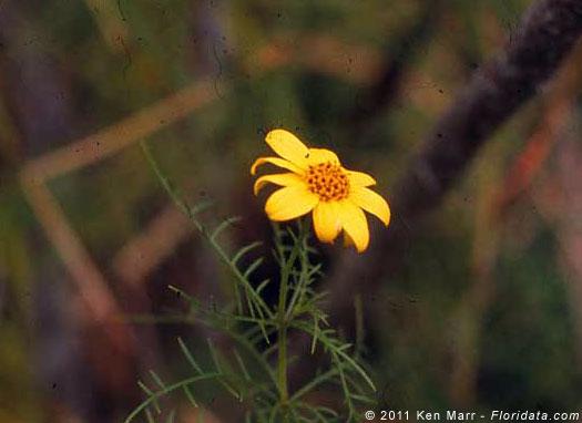 Lipochaeta tenuifolia