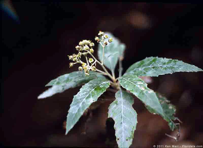 Remya kauaiensis
