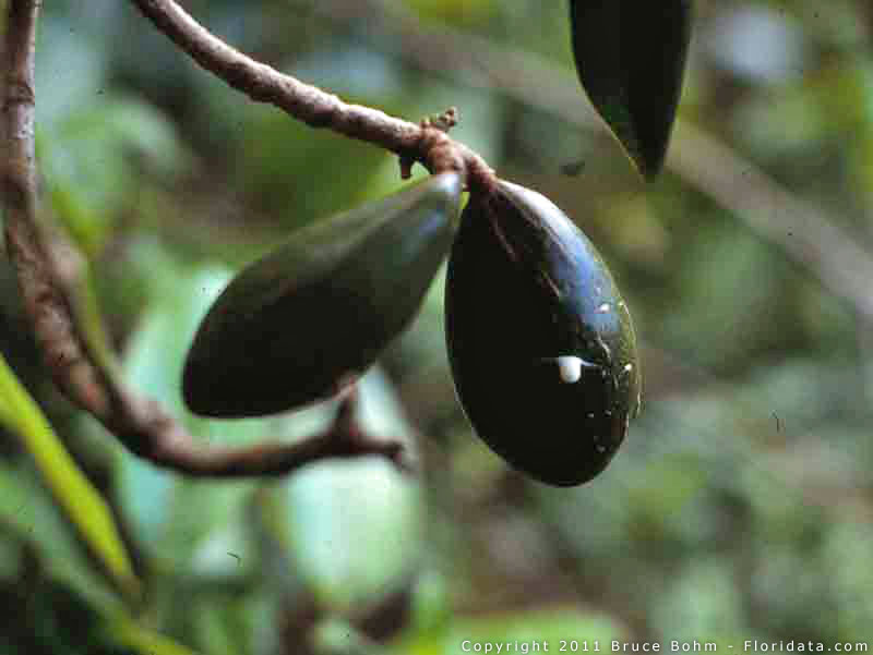 Pteralyxia kauaiensis