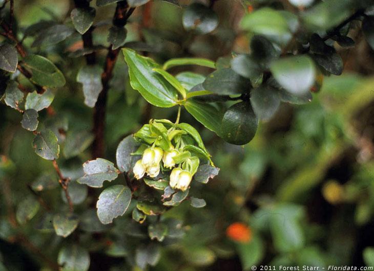 Alsinodendron