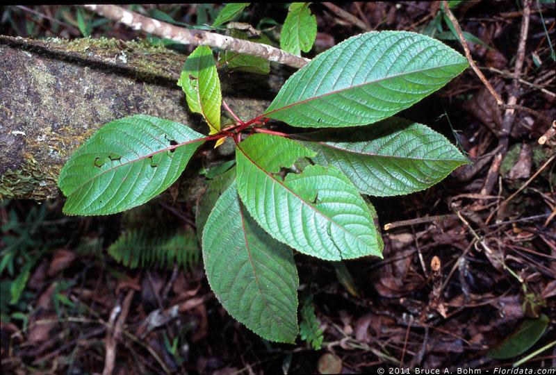 Perrottetia sandwicensis
