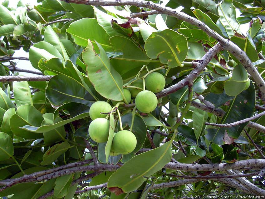 kamani tree