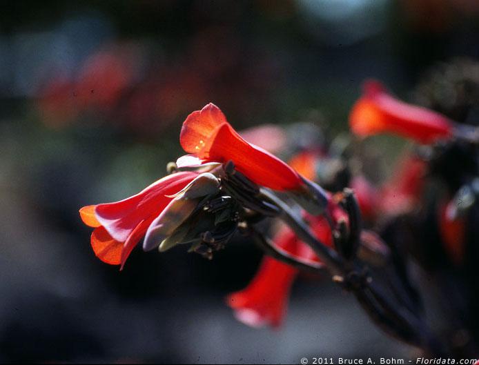 Kalanchoë tubiflora