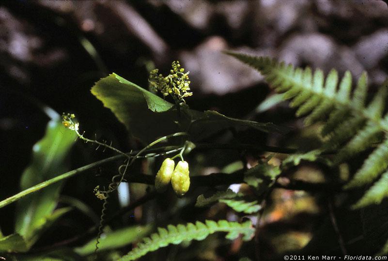 Sicyos cucumerinus