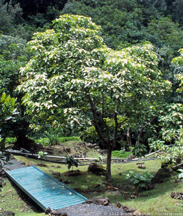 Hawaii Part 17 Euphorbiaceae
