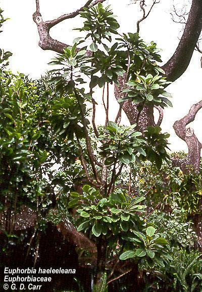 Euphorbia haeleeleana