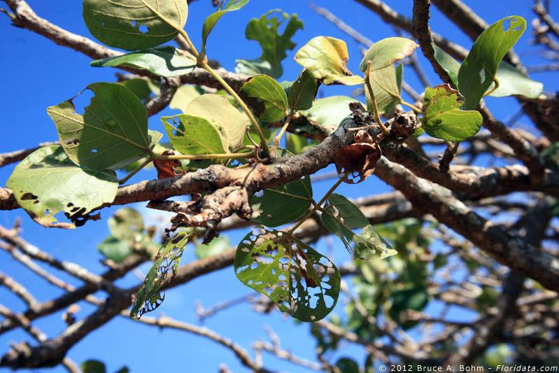 Erythrina infested leaves