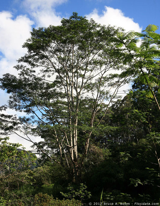 Paraserianthes falcataria
