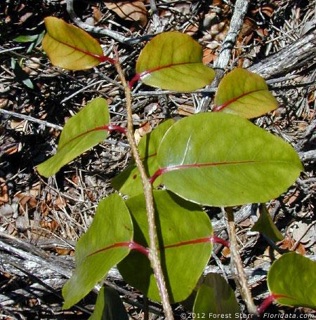 Xylosma hawaiiense