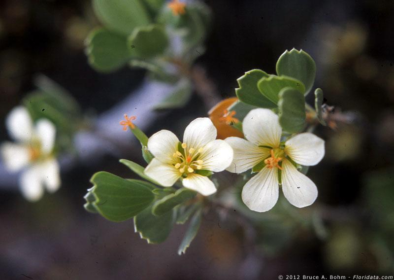 Geranium cuneatum