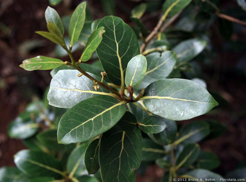 Cryptocarya mannii