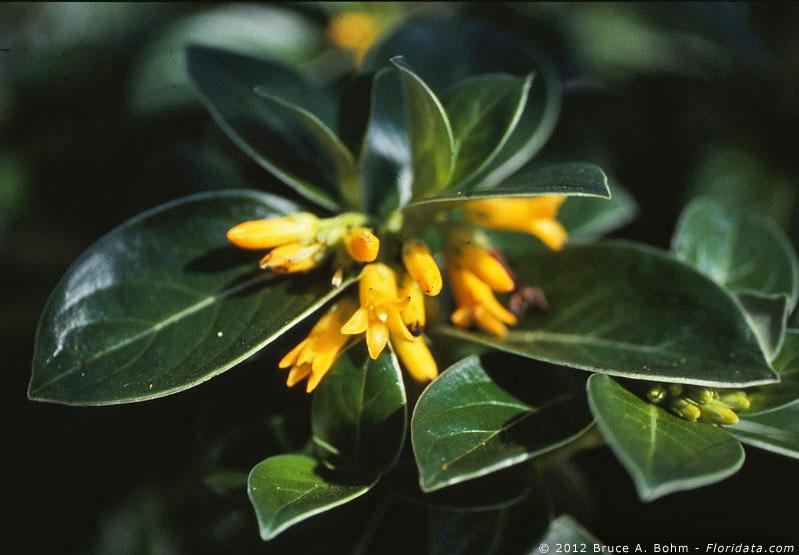 Labordia hedyosmifolia