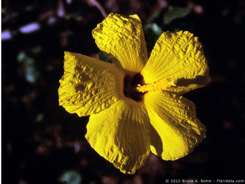 Hibiscus brackenridgei