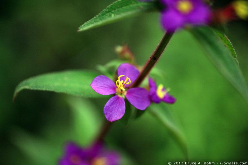Tibouchina herbacea