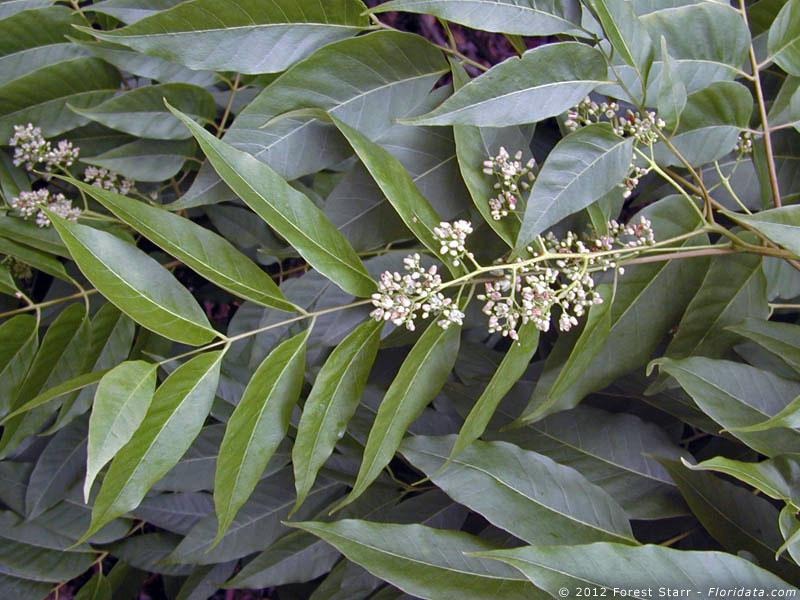 toona tree
