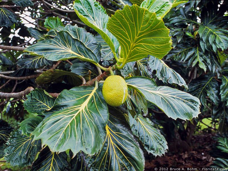 Artocarpus altilis