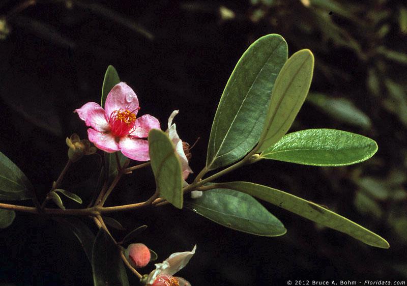 Rhodomyrtus tomentosa