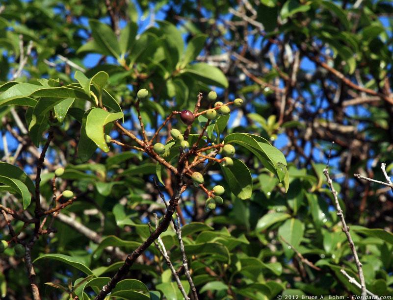 Nestegis sandwicensis