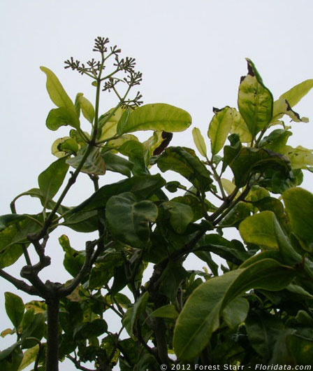 Pisonia brunoniana