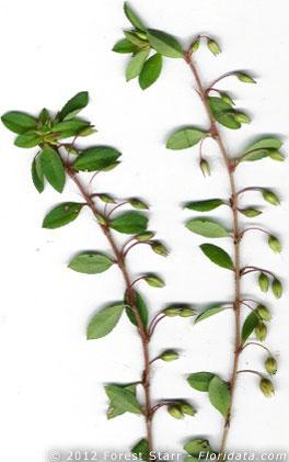 Sauvagesia erecta