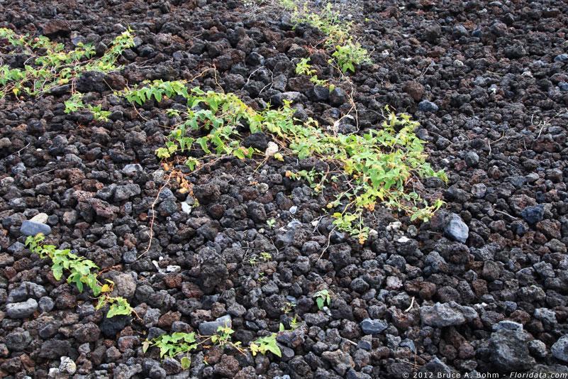 Passiflora foetida habitat