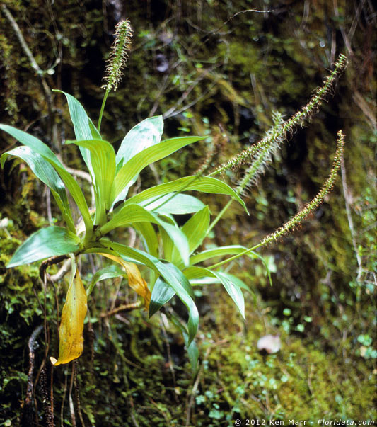 Plantago princeps var. laxifolia