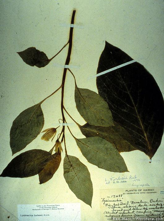 Lysimachia forbesii