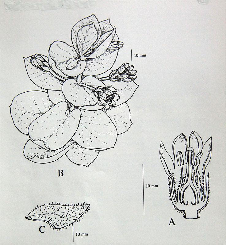 Lysimachia glutinosa