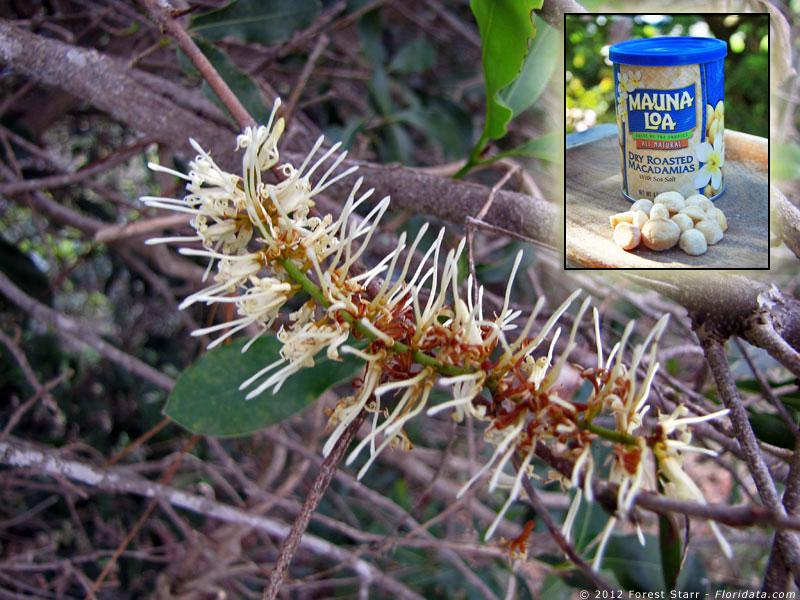Macademia integrifolia