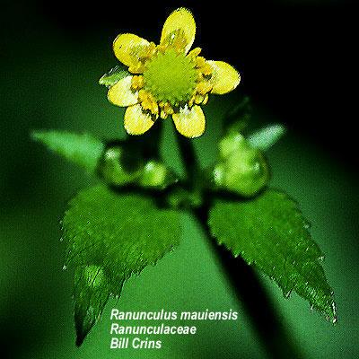 Ranunculus mauiensis