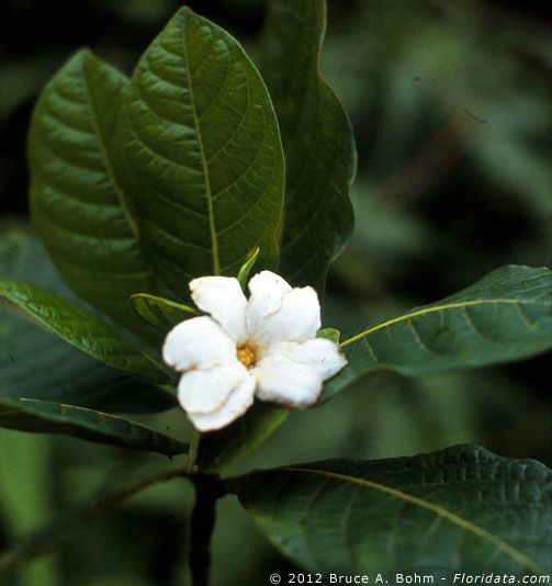 Gardenia remyi