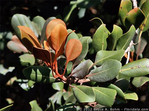 Pouteria sandwicensis