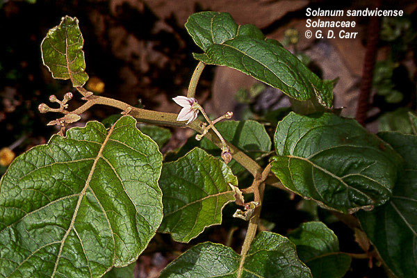 Solanum sandwicense