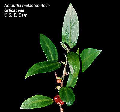 Neraudia melastomafolia