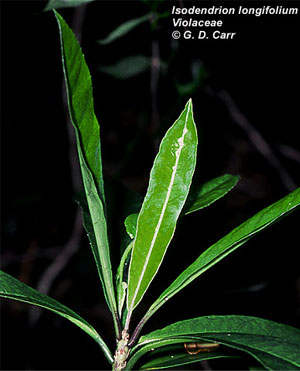 Isodendrion pyrifolium