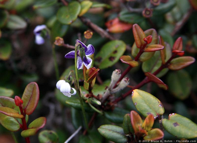 Viola maviensis
