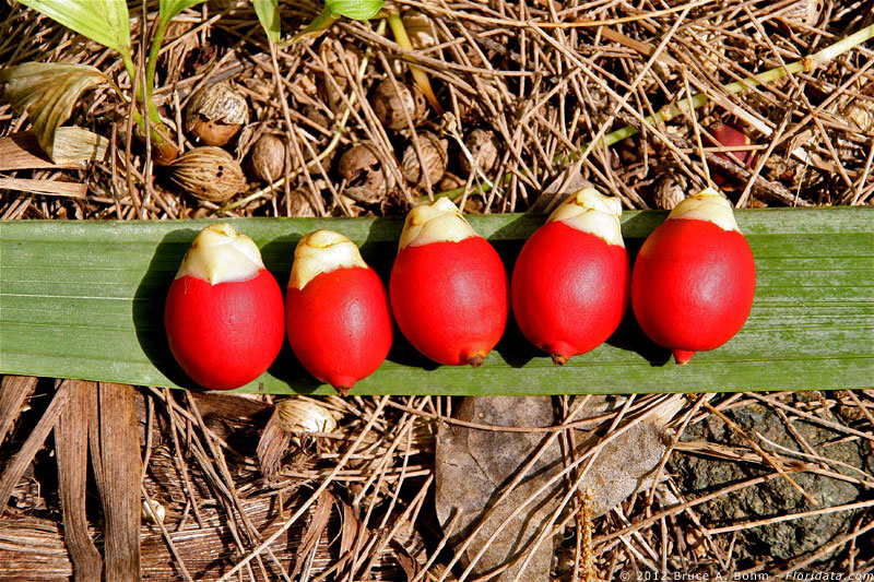 Archontophoenix fruits