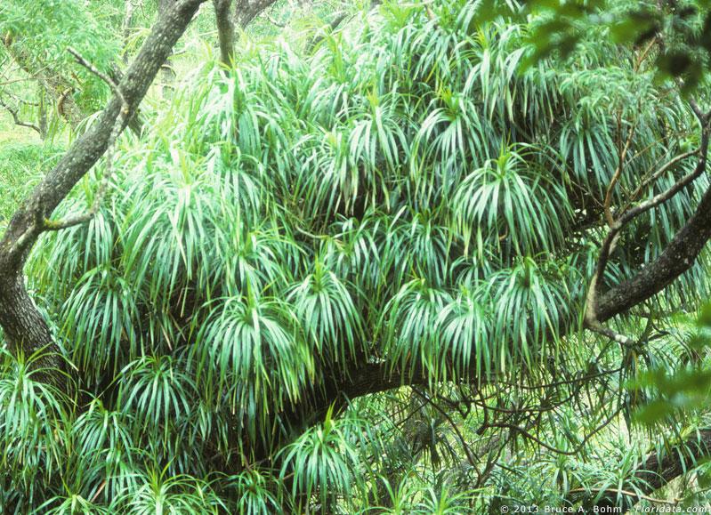 Freycinetia arborea
