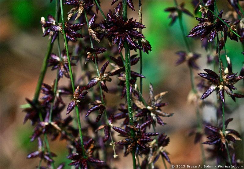 Schizostachyum glaucifolium