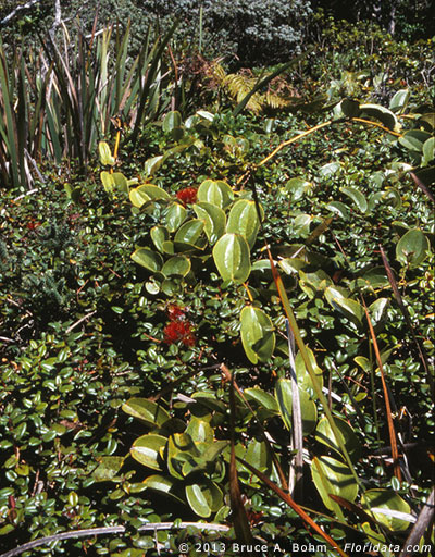 Smilax melastomifolia